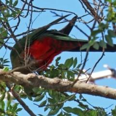 Alisterus scapularis (Australian King-Parrot) at Macarthur, ACT - 31 Mar 2020 by RodDeb