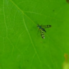 Austrosciapus connexus (Green long-legged fly) at Wamboin, NSW - 31 Jan 2020 by natureguy
