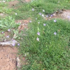 Wahlenbergia stricta subsp. stricta (Tall Bluebell) at Deakin, ACT - 1 Apr 2020 by jennyt