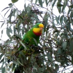 Polytelis swainsonii (Superb Parrot) at Hughes Grassy Woodland - 1 Apr 2020 by Ct1000