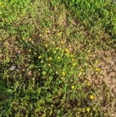 Calotis lappulacea (Yellow burr daisy) at Woodstock Nature Reserve - 31 Mar 2020 by MattM