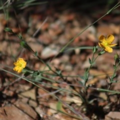 Hypericum gramineum (Small St Johns Wort) at Gundaroo, NSW - 22 Mar 2019 by Gunyijan