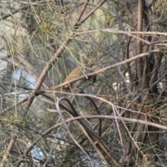 Caligavis chrysops (Yellow-faced Honeyeater) at Red Hill Nature Reserve - 1 Apr 2020 by Ct1000