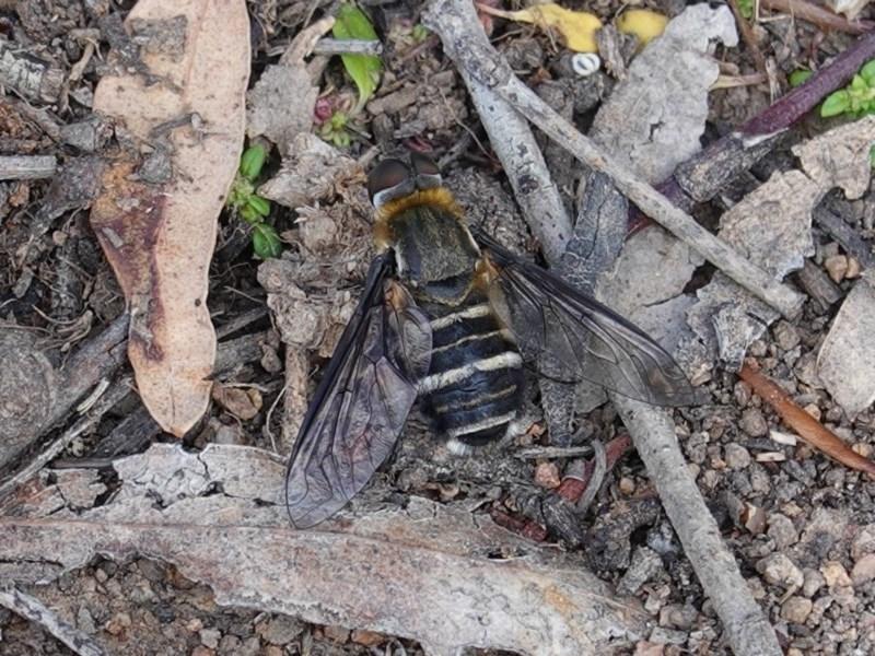 Villa sp. (genus) at Deakin, ACT - 1 Apr 2020