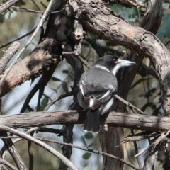 Cracticus torquatus (Grey Butcherbird) at Hughes Grassy Woodland - 1 Apr 2020 by JackyF