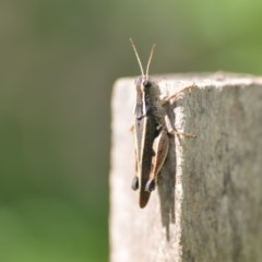 Phaulacridium vittatum (Wingless Grasshopper) at Wamboin, NSW - 31 Jan 2020 by natureguy