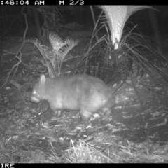 Vombatus ursinus (Bare-nosed Wombat) at Kangaroo Valley - Sydney Bushwalkers Club - 28 Mar 2020 by simon.slater