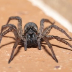 Lycosidae sp. (family) (Unidentified wolf spider) at Evatt, ACT - 31 Mar 2020 by TimL