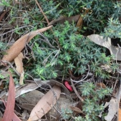 Astroloma humifusum (Cranberry heath) at Mount Mugga Mugga - 1 Apr 2020 by Mike
