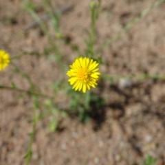 Calotis lappulacea (Yellow burr daisy) at Mount Mugga Mugga - 1 Apr 2020 by Mike