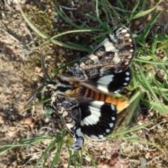 Apina callisto (Pasture Day Moth) at Aranda Bushland - 1 Apr 2020 by CathB