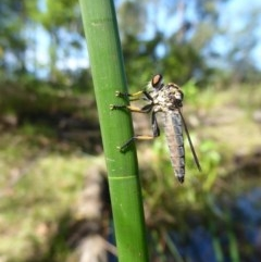 ASILIDAE (Robber fly) at Mossy Point, NSW - 30 Mar 2020 by HelenR