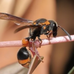Eumeninae sp. (subfamily) (Unidentified Potter wasp) at ANBG - 15 Mar 2020 by TimL