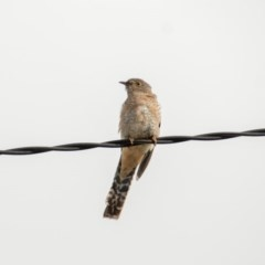 Cacomantis flabelliformis (Fan-tailed Cuckoo) at Florey, ACT - 2 Apr 2020 by b