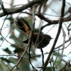 Rhipidura rufifrons (Rufous Fantail) at Red Hill Nature Reserve - 2 Apr 2020 by Ct1000
