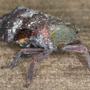 Platybrachys decemmacula at Ainslie, ACT - 29 Mar 2020