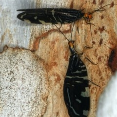 Porismus strigatus (Pied Lacewing) at Majura, ACT - 29 Mar 2020 by jbromilow50