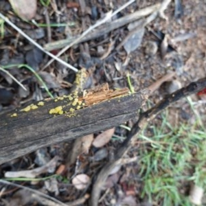 Dacrymyces sp. at Red Hill Nature Reserve - 2 Apr 2020