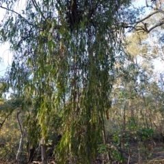Amyema miquelii at Red Hill Nature Reserve - 2 Apr 2020