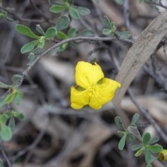 Hibbertia obtusifolia (Grey Guinea-flower) at Federal Golf Course - 2 Apr 2020 by JackyF