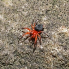 Nicodamidae sp. (family) (Red and Black Spider) at ANBG - 15 Mar 2020 by TimL