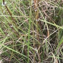 Sorghum leiocladum (Wild Sorghum) at Wingecarribee Local Government Area - 3 Apr 2020 by JESH