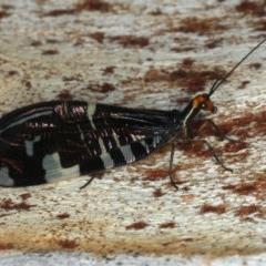 Porismus strigatus (Pied Lacewing) at Majura, ACT - 2 Apr 2020 by jbromilow50