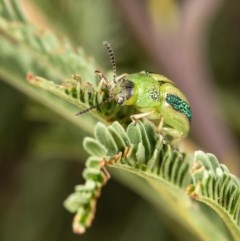 Calomela bartoni (Acacia Leaf Beetle) at Macgregor, ACT - 3 Apr 2020 by Roger