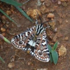 Apina callisto (Pasture Day Moth) at Hughes, ACT - 3 Apr 2020 by LisaH
