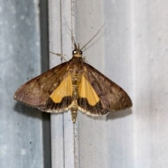 Uresiphita ornithopteralis (Tree Lucerne Moth) at Higgins, ACT - 31 Mar 2020 by AlisonMilton