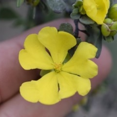 Hibbertia obtusifolia (Grey Guinea-flower) at Illilanga & Baroona - 29 Mar 2020 by Illilanga