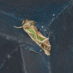 Cosmodes elegans (Green blotched moth) at Higgins, ACT - 31 Mar 2020 by AlisonMilton