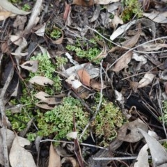 Heterodea sp. (A lichen) at Red Hill Nature Reserve - 2 Apr 2020 by JackyF