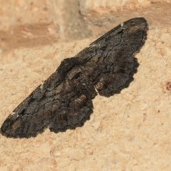Pholodes sinistraria (Sinister Moth, Frilled Bark Moth) at Higgins, ACT - 22 Mar 2020 by AlisonMilton