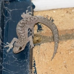 Christinus marmoratus (Southern Marbled Gecko) at Higgins, ACT - 23 Mar 2020 by Alison Milton