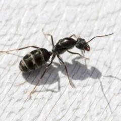 Iridomyrmex sp. (genus) (Ant) at Higgins, ACT - 1 Apr 2020 by AlisonMilton
