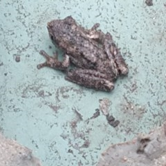 Litoria peronii (Peron's Tree Frog) at Surf Beach, NSW - 28 Mar 2020 by LyndalT