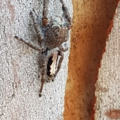 Sandalodes superbus (Ludicra Jumping Spider) at Black Mountain - 4 Apr 2020 by tpreston