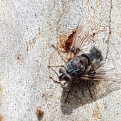 Prodiaphania sp. (genus) (A Tachinid fly) at Black Mountain - 4 Apr 2020 by tpreston