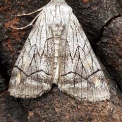 Stibaroma melanotoxa (Grey-caped Line-moth) at Black Mountain - 4 Apr 2020 by tpreston
