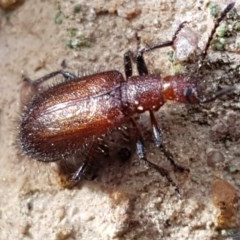 Lagriini sp. (tribe) (Unidentified lagriine darkling beetle) at Black Mountain - 4 Apr 2020 by tpreston