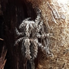 Clynotis severus (Stern Jumping Spider) at Black Mountain - 4 Apr 2020 by tpreston