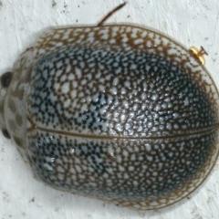 Paropsis sp. (Genus) (TBC) at Lilli Pilli, NSW - 31 Mar 2020 by jbromilow50