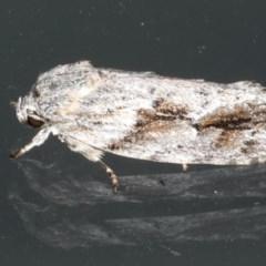 Agriophara confertella at Lilli Pilli, NSW - 1 Apr 2020