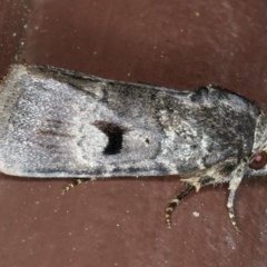 Thoracolopha verecunda (An Amphipyrinae Moth) at Lilli Pilli, NSW - 1 Apr 2020 by jbromilow50