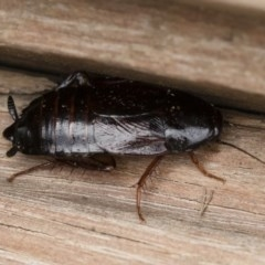 Paratemnopteryx couloniana (A native cockroach) at Michelago, NSW - 7 Mar 2020 by Illilanga