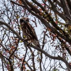 Ninox boobook (Southern Boobook) at Tallaganda National Park - 2 Mar 2020 by SthTallagandaSurvey