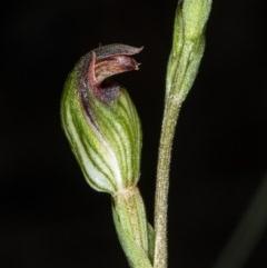 Speculantha rubescens (Blushing tiny greenhood) at Gungaderra Grasslands - 25 Mar 2020 by DerekC