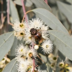 Rutilia (Grapholostylum) 'micans' at Michelago, NSW - 17 Dec 2019