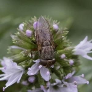 Metallea sp. (genus) at Illilanga & Baroona - 22 Mar 2019